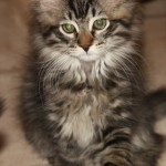 Den Sibiriska kattungen Puljev söker ett nytt hem.