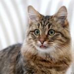 Gullan, sibirisk katt. Ägare Mona-Britt Ljustell