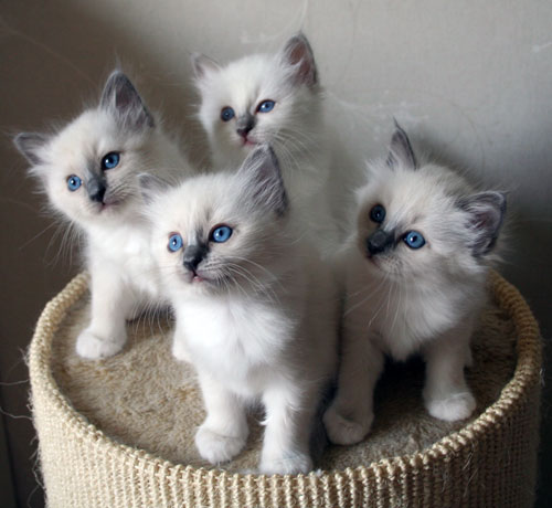Almgrynets blå tjejer