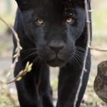 jaguarhane